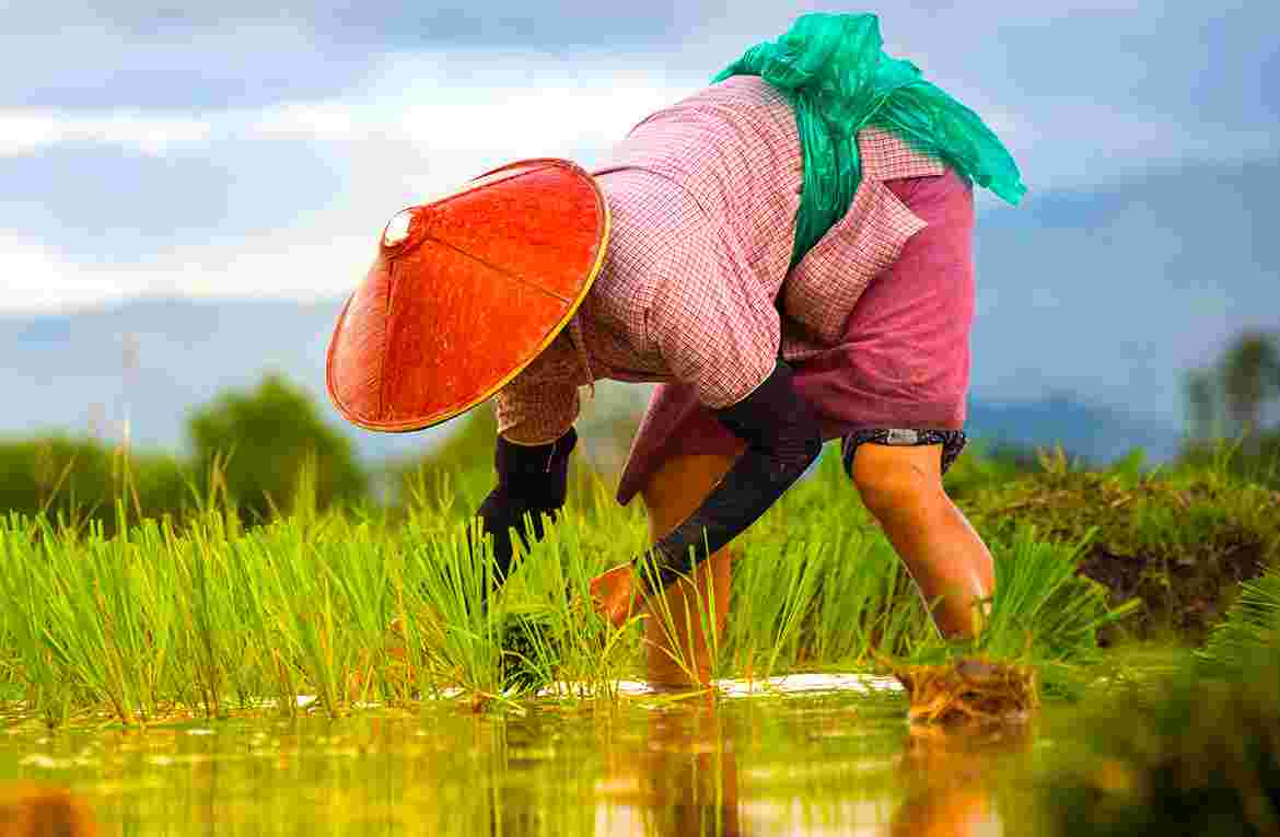 The traditional hand methods of cultivation…..