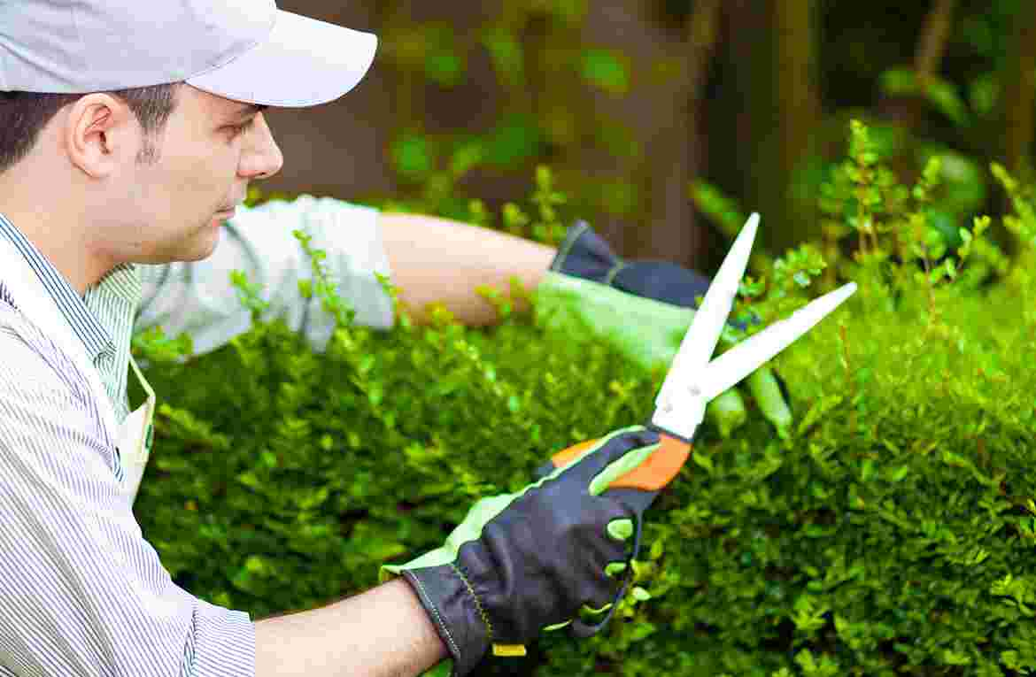 A pair of shears in hedge trimming