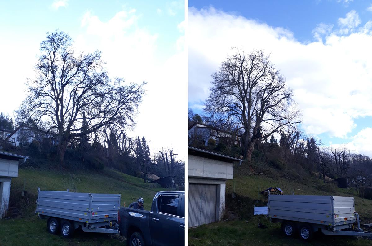 Einkürzung eines Feldahorns wegen einer Baumaßnahme, vorher und nachher