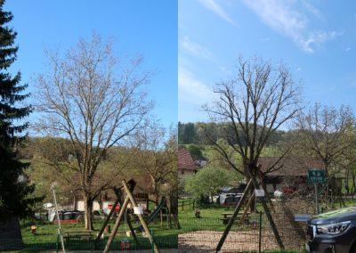 Einkürzung eines Silberahorns (Acer saccharinum) auf Grund von Stammschaden