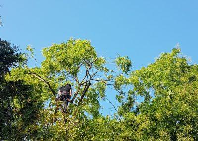 Einkürzung einer der wenigen Schnurbäume in unserer Gegend