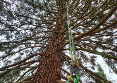 Kronenpflege eines Mammutbaums