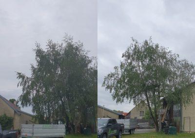 Vorher:Nachher. Einkürzung einer geschädigten Birke durch ehemalige Kappung