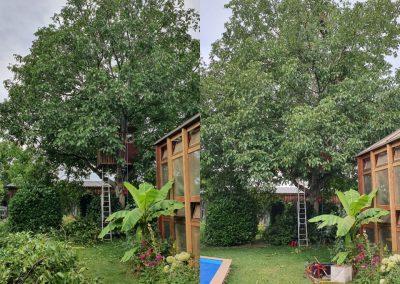 Vorher:Nachher. Einkürzung eines Walnussbaums