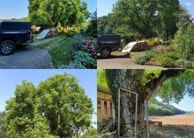 Vorher:Nachher. Einkürzung eines Walnussbaums.jpg