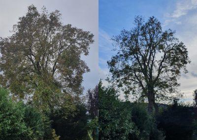 Vorher:Nachher. Einkürzung eines stattlichen Walnussbaums.jpg