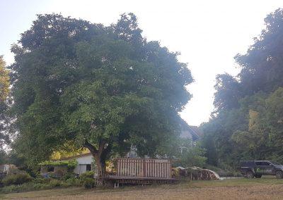 wie klein das Auto aussieht neben dem Walnussbaum