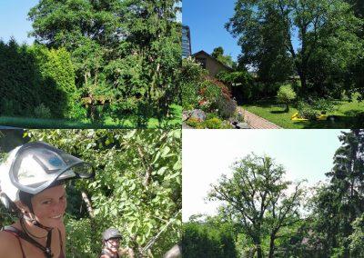 stärkere Einkürzung eines großen Walnussbaumes wegen starker Schäden am Stamm und Gabeln